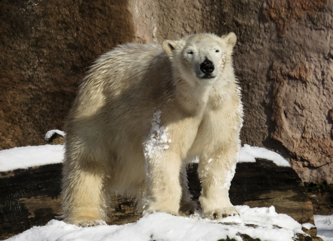 polar-bear-resized